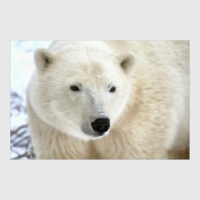 Постер Белый медведь